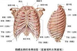 胸膜的意思、造句、近义词